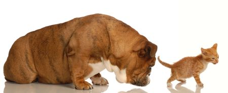 animal behaviour - english bulldog sniffing orange tabby kittens backside  photo