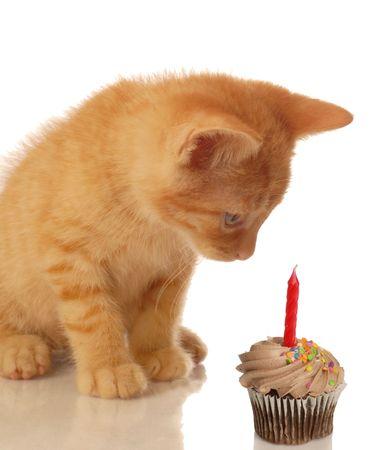 kitten celebrating birthday - kitten looking at chocolate cupcake