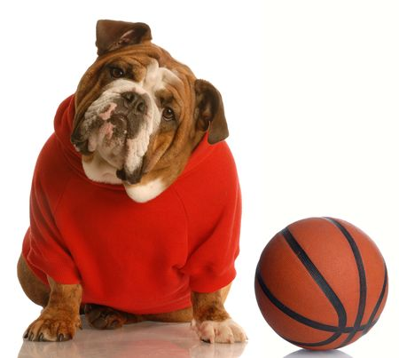 english bulldog wearing red sweatsuit with basketball photo