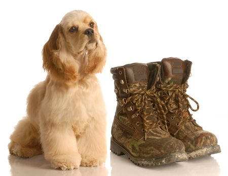 hunting dog - american cocker spaniel sitting beside pair of camouflage hunting boots Stock Photo - 4581397