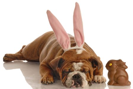 english bulldog dressed as easter bunny laying beside chocolate bunny with bite out of ears photo