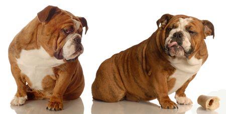 dog fight - two english bulldogs arguing over dog bone   photo