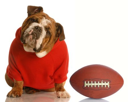 sweatsuit: adorable english bulldog wearing sweatsuit with football isolated on white background