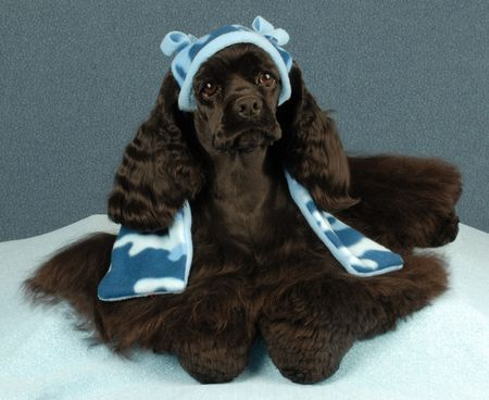conformation: american cocker spaniel in winter hat and scarf