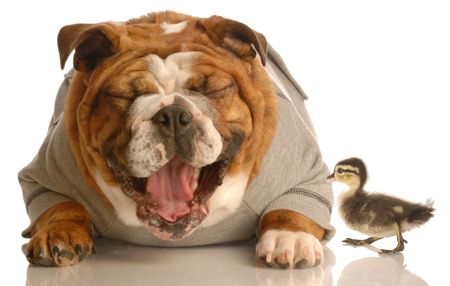misfit: funny animal arguement - english bulldog laughing at baby mallard duck  Stock Photo