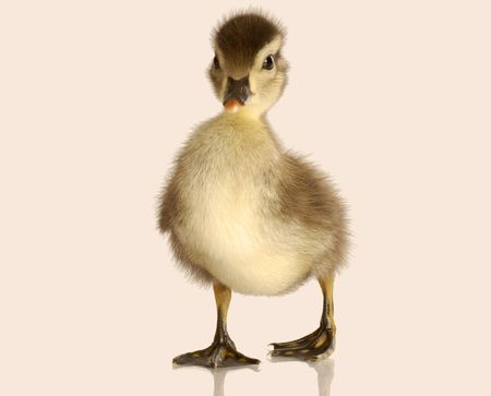 pato real: beb� de patos cruzados aisladas sobre fondo blanco Foto de archivo