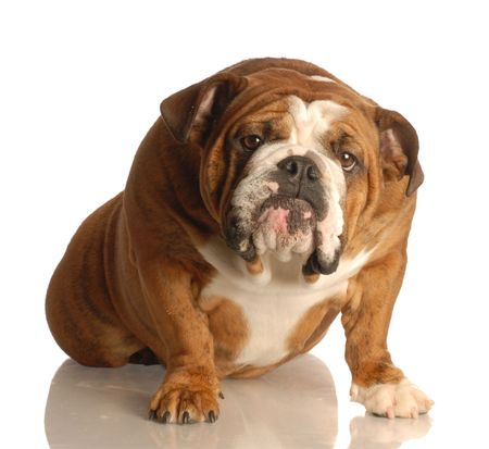 english bulldog sitting with guilty looking expression photo