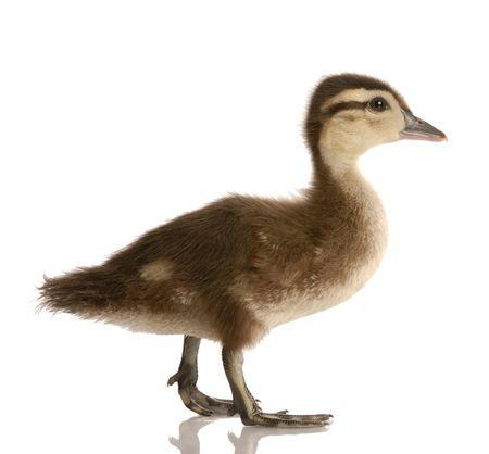 baby mallard duck isolated on white background Stock Photo - 5010366