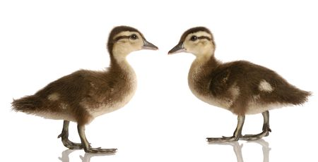 two baby mallard ducks standing looking at each other isolated on white background Stock Photo - 5017365