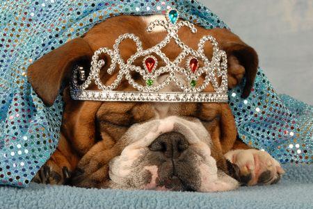 english bulldog wearing princess tiara peaking out from under blue blanket   photo