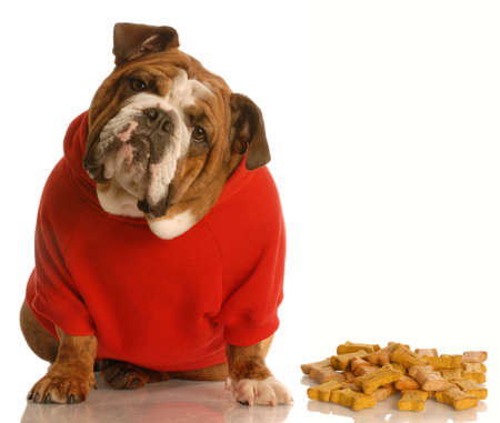 treat like a dog: english bulldog with cute expression sitting beside pile of dog bones Stock Photo