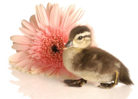 baby mallard duck with gerbera daisy on white background Stock Photo - 5042882
