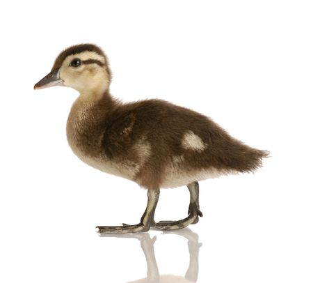 baby mallard duck isolated on white background Stock Photo - 5042877
