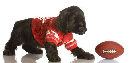american cocker spaniel: american cocker spaniel puppy dressed up playing football Stock Photo