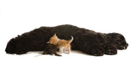 cat grooming: cocker spaniel dog nursing a litter of orphaned kittens