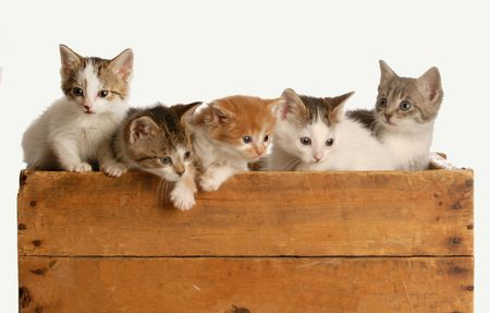 calico whiskers: litter of five kittens in a wooden box on white background Stock Photo