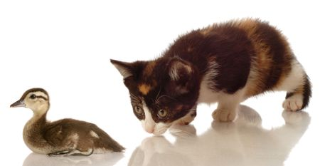 calico kitten hunting a baby mallard duck on white background photo