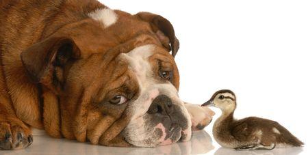 english bulldog with baby mallard duck isolated on white background photo