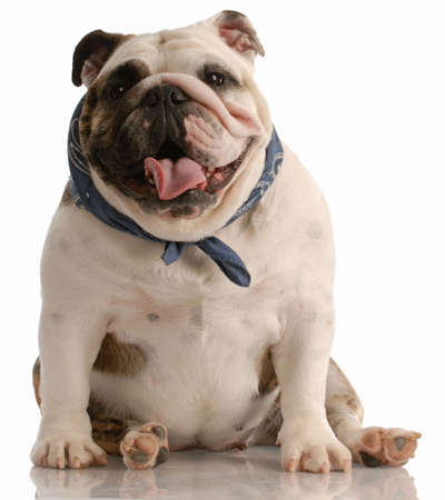 front facing: adorable happy english bulldog with scarf sitting on white background