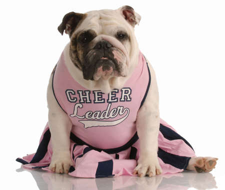 cheerleader: english bulldog dressed up as a cheerleader Stock Photo
