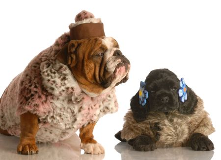 english bulldog and cocker spaniel puppy dressed up in fur coats  photo
