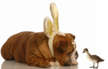 english bulldog wearing bunny ears looking at duck photo