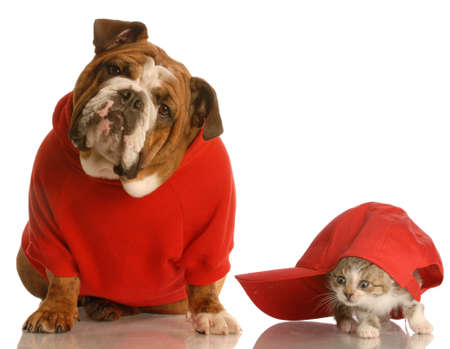 dog in costume: dog and cat playing - english bulldog in red sweater and kitten playing under baseball cap