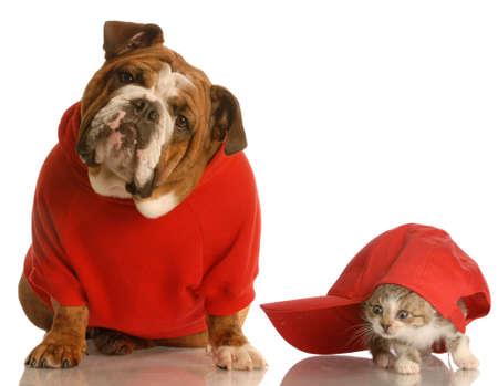 gato jugando: perros y gatos jugando - Ingl�s bulldog en rojo y su�ter gatito jugando bajo gorra de b�isbol Foto de archivo