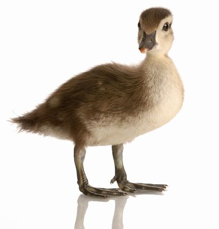 mallard duck isolated on white background Stock Photo - 5120490