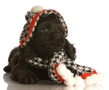 american cocker spaniel puppy wearing winter hat and scarf photo