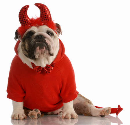 stocky: english bulldog dressed up as a devil