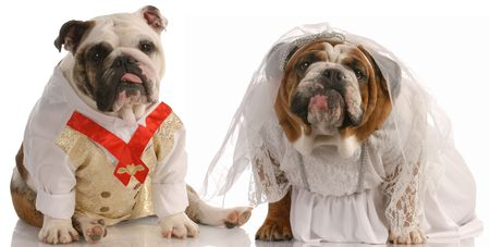 puppy love - english bulldog dressed up as a bride and groom photo