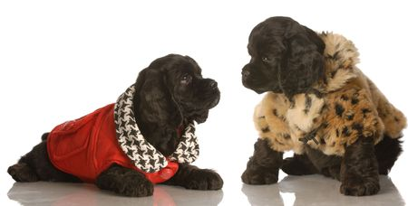 two american cocker spaniel puppies dressed up in winter coats  photo