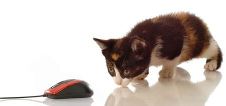 calico kitten stalking a computer mouse on white background photo