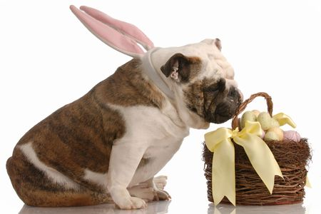 english bulldog with bunny ears sniffing at easter basket photo