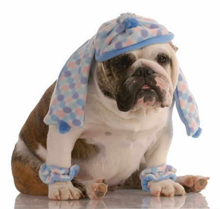 leg warmers: funny english bulldog dressed in winter hat scarf and leg warmers
