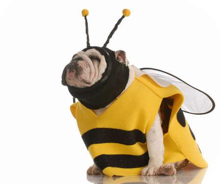 english bulldog dressed up as a bee on white background photo