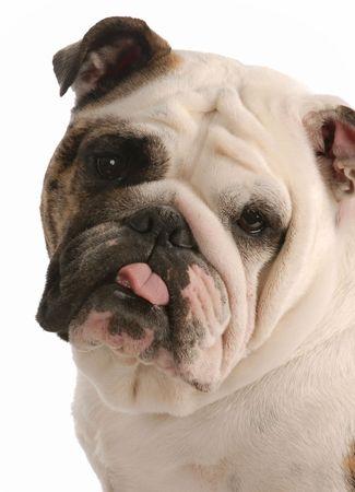 english bulldog with tongue sticking out on white background   photo