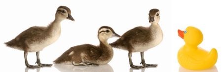 blended family - three mallard ducks and a rubber duck photo