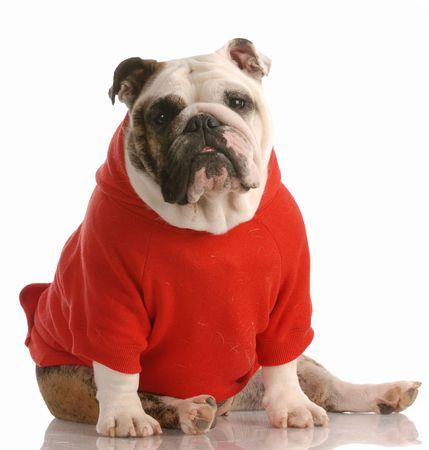 adorable english bulldog wearing red sweater on white background photo