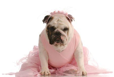 animal tutu: english bulldog in pink tutu on white background