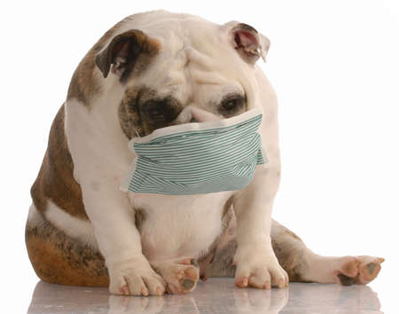 sick or contagious dog - bulldog wearing medical mask photo