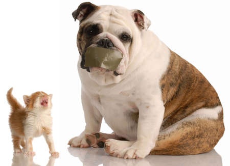 complaining: dog and cat fight - english bulldog with tape on mouth sitting beside complaining kitten