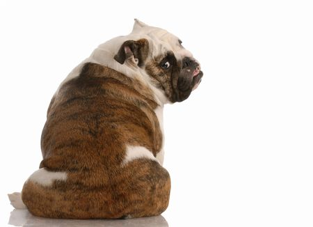 english bulldog sitting with backside to the camera   photo
