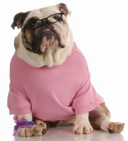 adorable female english bulldog wearing pink sweater and reading glasses photo