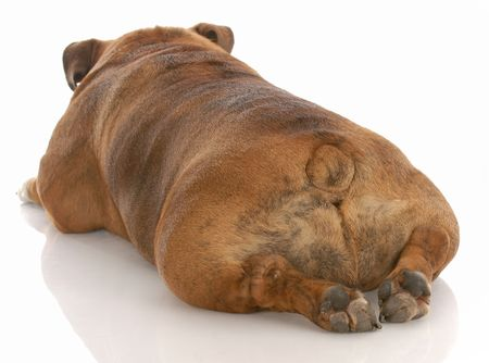 english bulldog from the backside on white background Stock Photo - 5212525