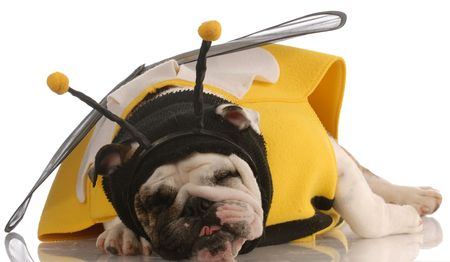 english bulldog with funny expression dressed up as a bee photo
