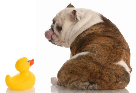 puppy love: puppy love - english bulldog kissing a rubber duck