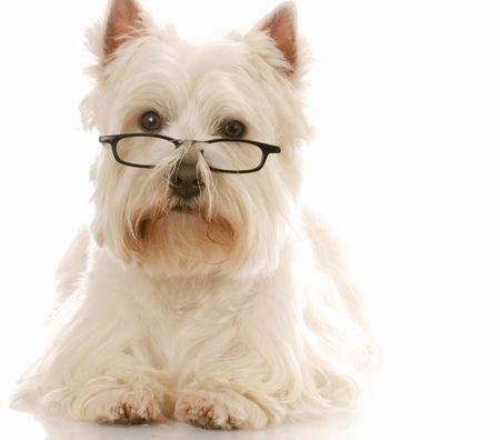west highland white terrier wearing dark framed reading glassed photo