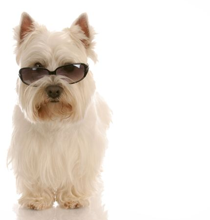 cute westie: west highland white terrier wearing cool sunglasses on white background